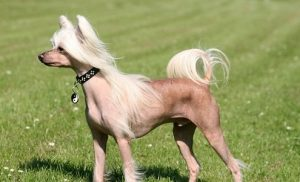 Chinese Crested3