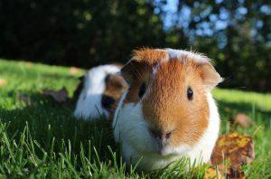 guinea-pig-1100448_960_720