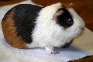 guinea-pig-237034_960_720