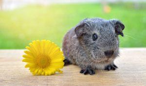 guinea-pig-785041_960_720