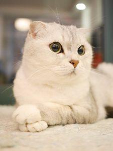 scottish-fold-cats-1071846_960_720