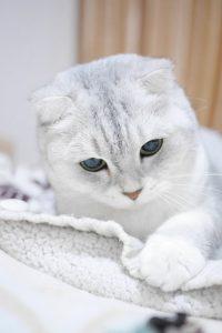 scottish-fold-cats-1073667_960_720