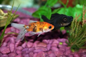 goldfish-672126_960_720