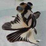 金魚の11種類の色や柄、名前、特徴!可愛くて綺麗なカラー