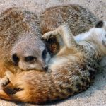 ミーアキャットのペットとしての飼い方!飼育環境、繁殖、餌