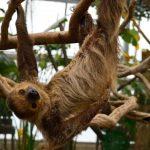 ナマケモノのペットでの飼い方!飼育環境、餌、寿命、価格は