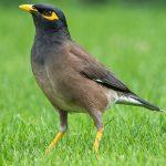 九官鳥の飼い方、飼育用品、餌の頻度!ものまね上手なペットに